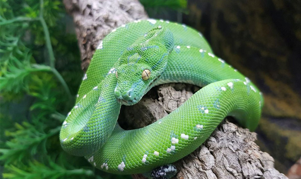 Green Tree Pythons Everything You Must Know!