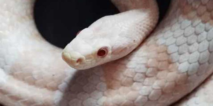 How Much Do Corn Snakes Cost