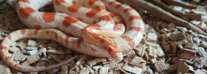 What Does A Corn Snake Look Like