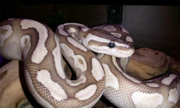 Butter Ball Pythons