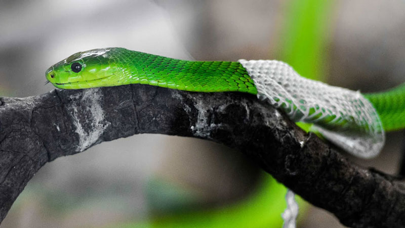 Why, How & When Snakes Shed Their Skin